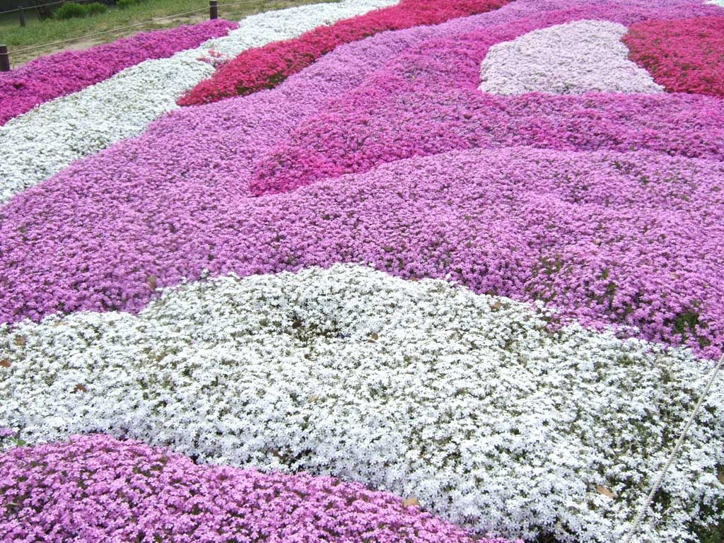 みさと芝桜公園の画像